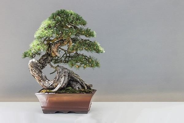 bonsai para regar con osmosis inversa